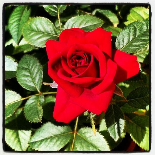 Rosa rossa #palindromi e #colori