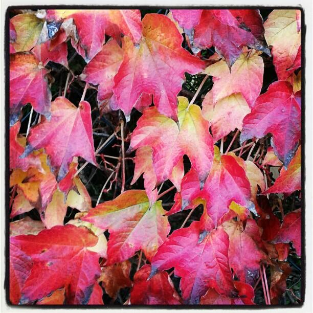 La coreografica edera che viene dalle americhe #autunno